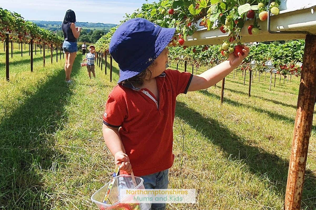 Grange Farm in Harpole, Northamptonshire is perfect for Strawberry picking. Sometimes there are also other fruits available for picking. For great days out in Northants check out www.northamptonshiremumsandkids.co.uk