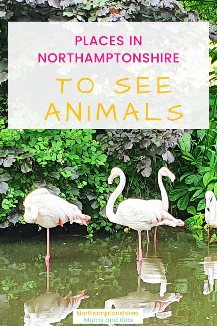 Zoo & farms aren't the only places in Northamptonshire to see animals such as flamingos, meerkats, llamas, pygmy goats, lemurs, and anteaters. For more ideas of things to do in Northamptonshire check out www.northamptonshiremumsandkids.co.uk